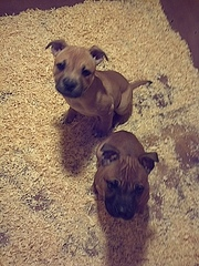 stafoordshire bull terrier pups